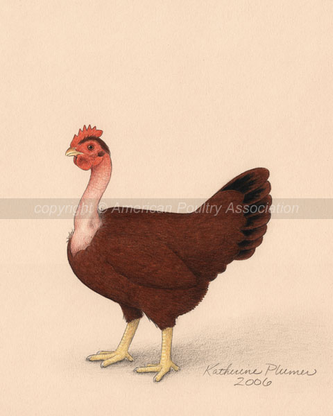 Bantam Red Naked Neck Chicken Art Drawings