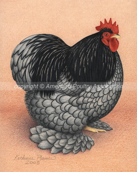 Chicken Poultry Art Bantam Blue Cochins