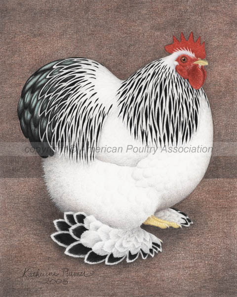 Bantam Columbian Cochins Chicken Art Drawing