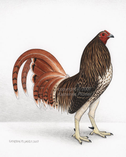 chicken and poultry drawingsChicken Drawings