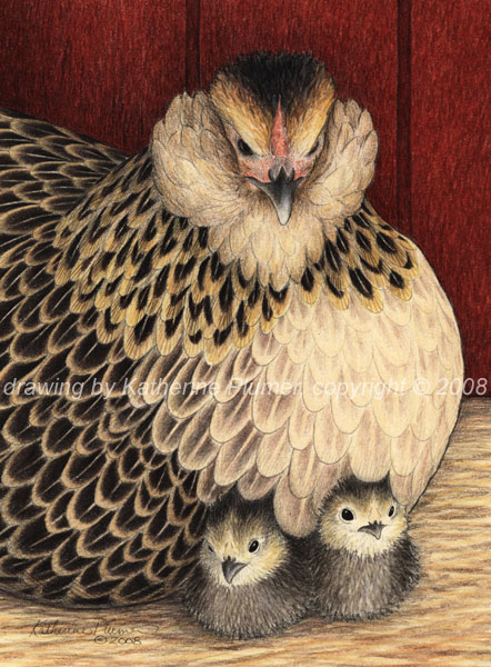 D'Anver hen and chicks drawing